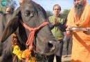 ভারত দেশব্যাপী গরু