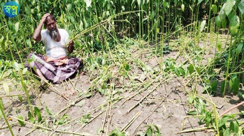 বেনাপোলে পাট গাছ কেটে