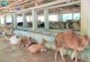 করোনা : গরু খামারি নাসিরের